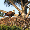 Eagle and Eaglet on the Nest  2