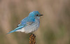 Moutain Bluebird - Oak Openings - Whitehouse, Ohio - April 2009<br /> This is a Rarity! Only the second recorded sighting in Ohio!!!<br /> A beautiful looking bird!!!