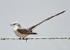 Sissor-tailed Flycatcher male