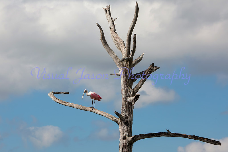 Roseate Spoonbill perching on a dead tree
