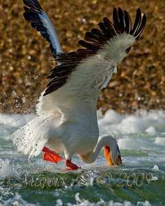 An American White Pelican Fishing