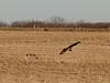 Short-eared owls<br /> Gettysburg, Pennsylvania
