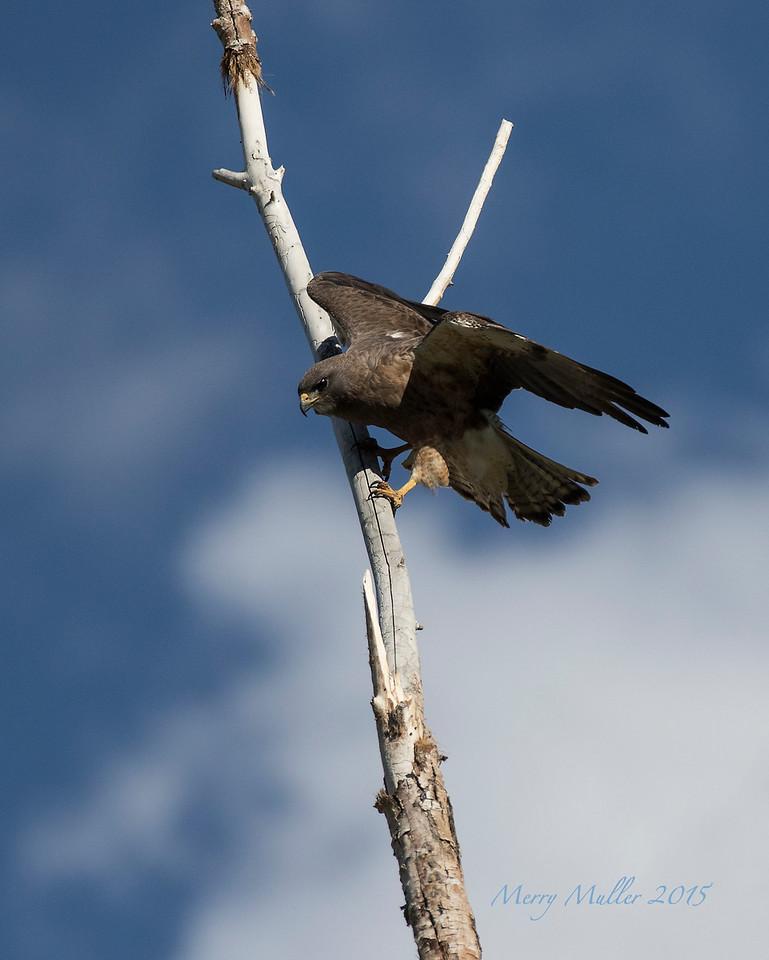 Swanson's Hawk Dark Morph