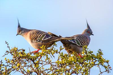 Crested Pigeon pair, Truganina Swamp, Altona, Victoria