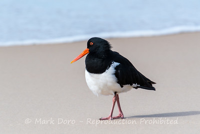 Pied Oystercatcher, Stockton Beach, Port Stephens, NSW