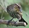 Texas Sparrow