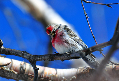 Red Pole Finch 652