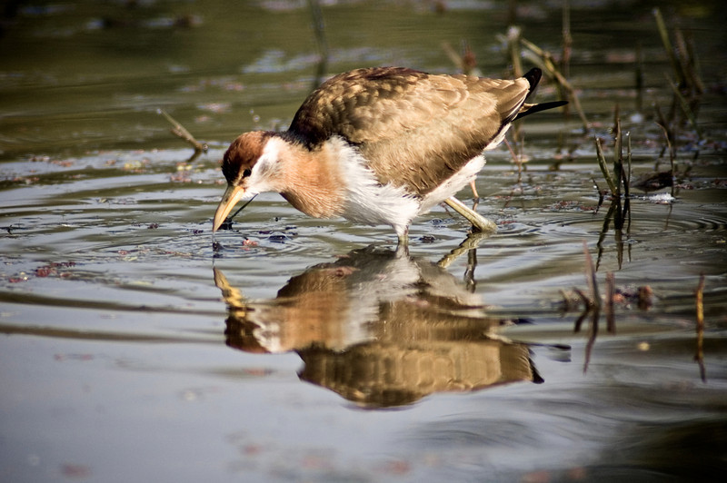Bronze-Winged Jacana (Metopidius indicus)<br /> Bharatpur, India<br /> IUCN Status: Least Concern