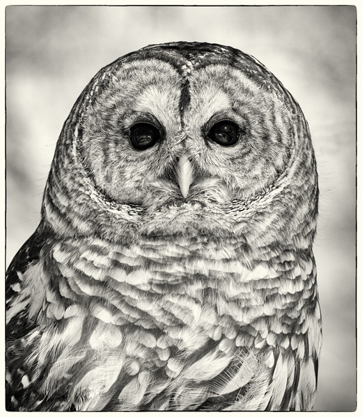 B & W Barred Owl