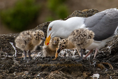 Western Gull Chicks