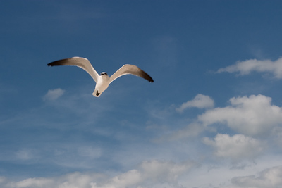 Gull, Honeymoon Island, FL-2055