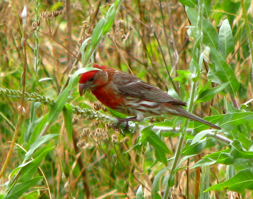 A male house finch (Carpodacus mexicanus) standing on a bit of tall grass (20080629_08622)