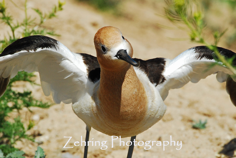 "An Avocet parent ""with a lot of moxie"" shows no intimidation with our size diffrence as she makes it clear, my presence is not wanted!"