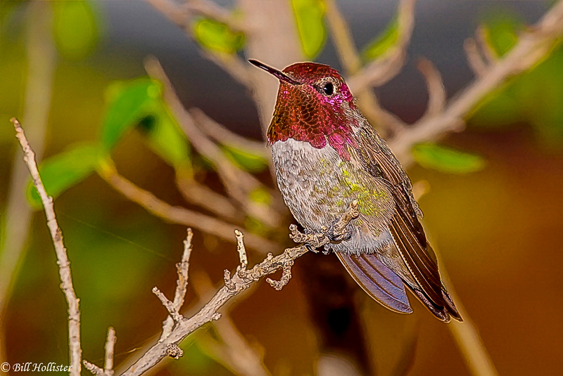 Broad-tailed Hummingbird #2