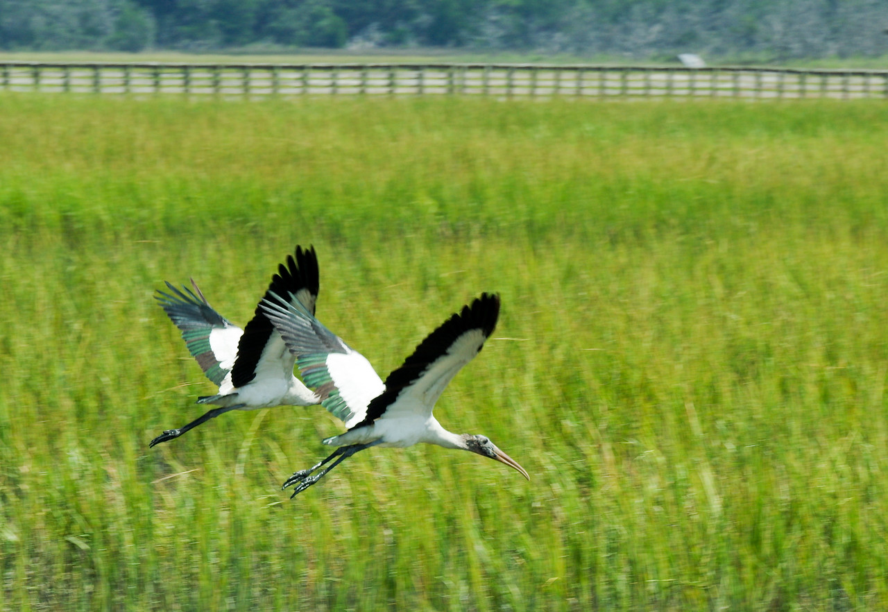 wood storks coming in for a landing