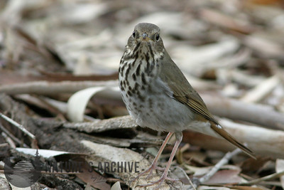 Hermit Thrush, Boyce Thompson, AZ
