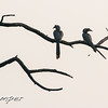 Indian Hornbills