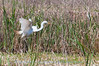 Great Egret Heron