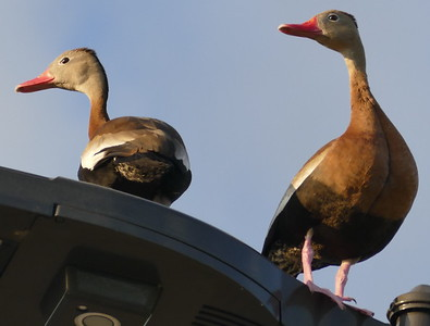 P179DendrocygnaAutumnalis192 Mar. 21, 2019 8:14 a.m. P1790192 This pair of Whistling Ducks, Dendrocygna autumnalis, were hanging around the parking lot at LBJ WC, mostly on this light fixture near a hole they failed to raise chicks in last year (if the are the same pair or partly so). Anatid.