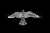 Falco peregrinus<br /> (Negative image)