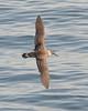 Great Shearwater in flight