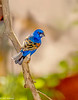 Blue Grosbeak #5a