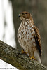 Sharp-shinned hawk<br /> Fairfax County, Virginia<br /> January 2009
