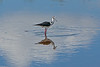 Black-winged stilt<br /> Himantopus himantopus