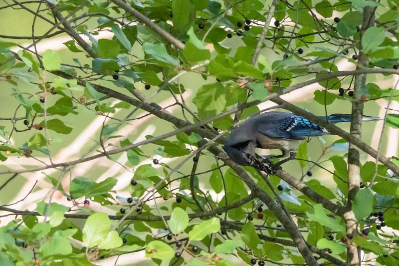 Bluejay, Kendall Lake, CVNRA, 07-13-2018