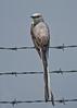 Sissor-tailed Flycatcher