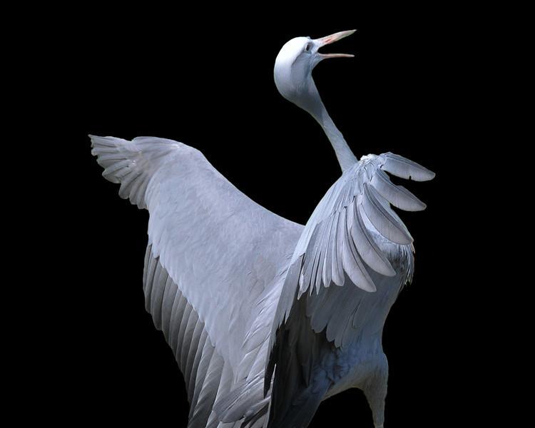 Blue Crane On Black