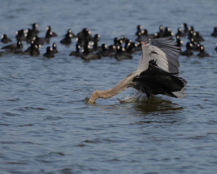 Great Blue Heron dunking for fish<br /> Pohick Bay, Virginia