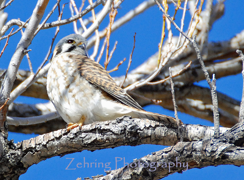 A small female kestrel, the smallest and most common of the American falcons, perches as she warms in the afternoon sun.
