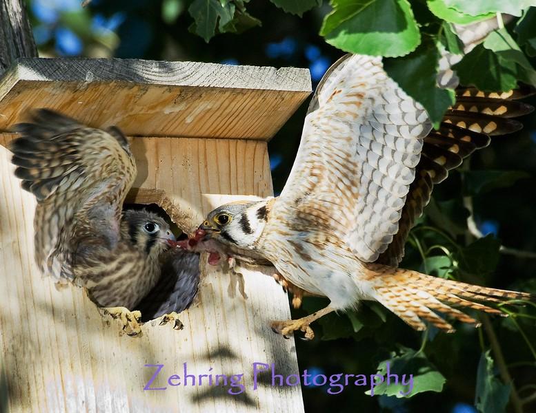 Parent Kestrel feeding it's young in flight.
