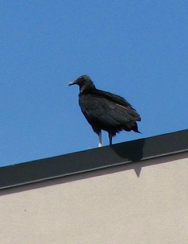 An American black vulture (a.k.a. black vulture; Coragyps atratus) perched atop a hospital (20080511_05173)