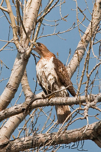 Talking Redtail Hawk