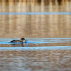 Hooded Merganser - Fishing