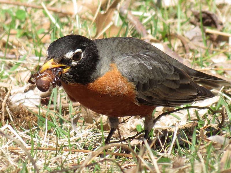 Sweet little Robin eating a big spider.