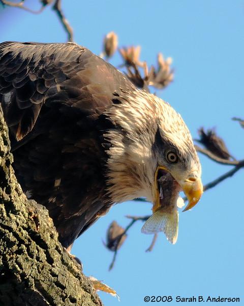 Bald Eagle finishing the fish.<br /> near Conowingo Dam<br /> Susquehanna River, Maryland<br /> November 2008