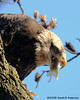 Bald Eagle finishing the fish.<br /> near Conowingo Dam<br /> Susquehanna River, Maryland<br /> November 2008