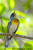 singing Northern Parula<br /> Occoquan National Wildlife Refuge<br /> Virginia<br /> April 2009