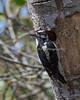 I saw a Downy Woodpecker earlier this year, pecking out this hole for a nest.  This Autumn, I saw possibly the same bird, coming back to check for any available food in the crevices.