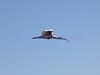 ibis<br /> Eudocimus albus