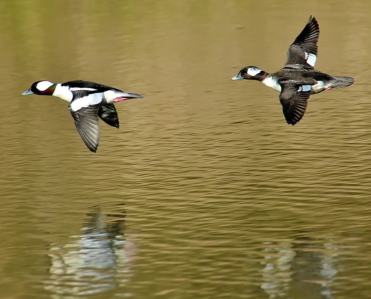 Bufflehead Pair on Lady Bird Lake