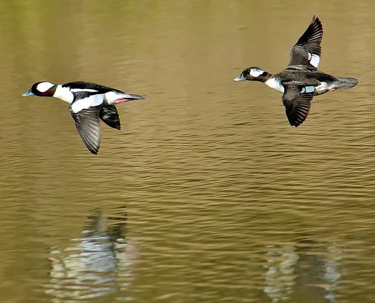 Bufflehead Pair on Lady Bird Lake