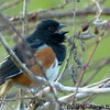 Eastern Towhee (male) singing<br /> (note the band on his right leg)<br /> <br /> Occoquan Bay NWR, Virginia<br /> April 2010