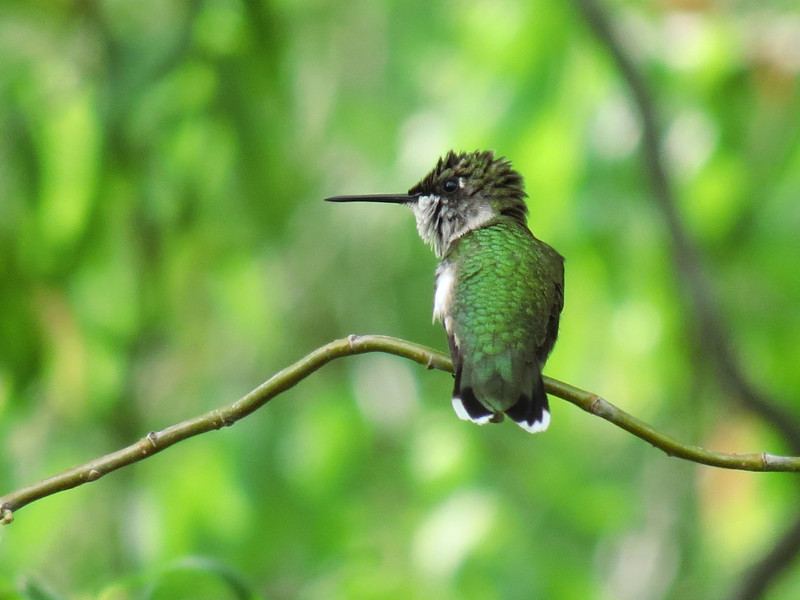 This little Hummingbird has ruffled up her head feathers.