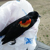 A sad sight of a dead Red Winged Blackbird that had flown into a door.