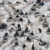 Nesting Cape Cormorants