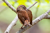 Freshly washed carolina wren in a dogwood tree